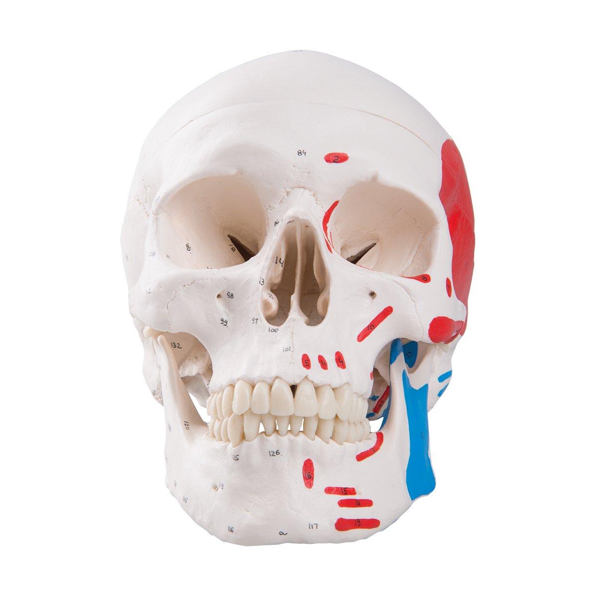 頭蓋,筋番号表示付,3分解モデル   B006YWWIAS