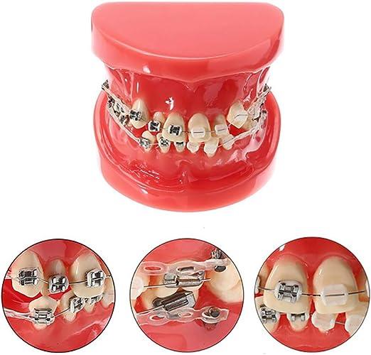 Apoyos Modelo de Dientes, Dental Tipodonto con Mental Brackets de ...