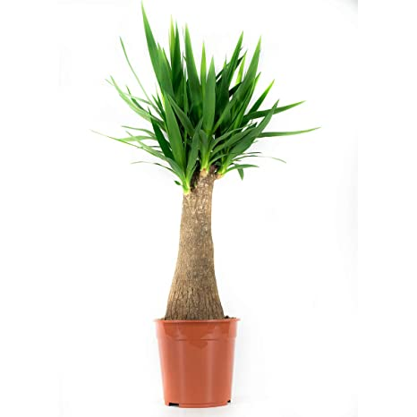 Botanicly Pianta Da Interno Yucca 90 Cm Amazon It Giardino E