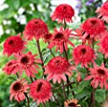 'Raspberry Truffle' Echinacea Coneflowers, 100 Seeds, a layer of red outer petals, a cluster of red-to-brown center petals