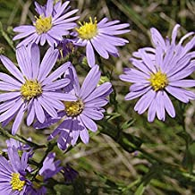 Everwilde Farms - 2000 Smooth Blue Aster Native Wildflower Seeds - Gold Vault Jumbo Seed Packet