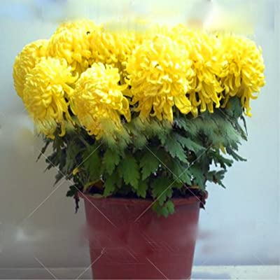 100pcs Bonsai Chrysanthemum Seeds Florists DendranthemaTanacetum morifolium Perennial Indoor Flower Seeds for Home Garden Plant : Garden & Outdoor