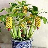Keland New Rare Dwarf Banana Tree Seeds Mini Bonsai Fruit Exotic Home Garden Plants (20)