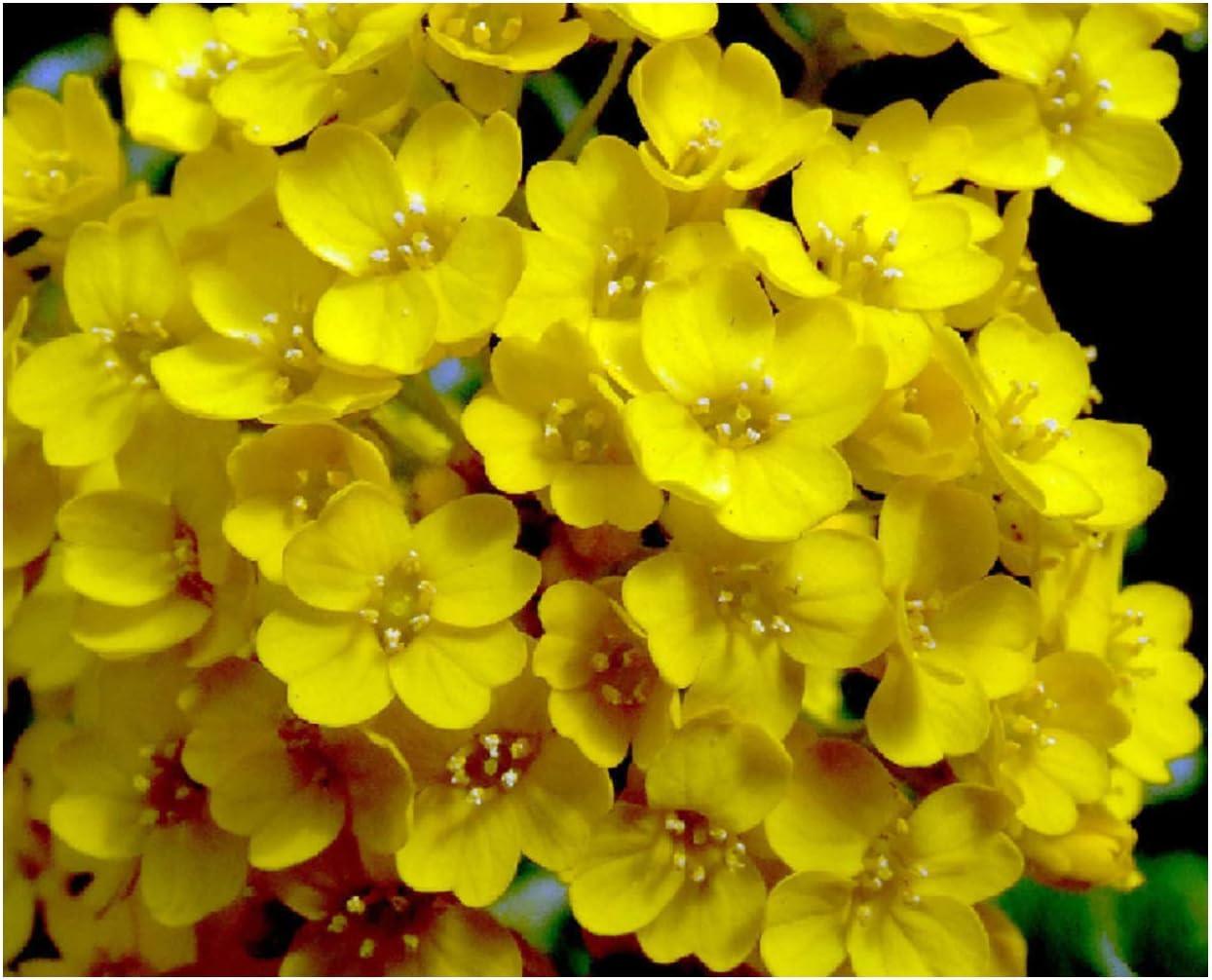 Basket of Gold Alyssum Seeds flowering ground cover