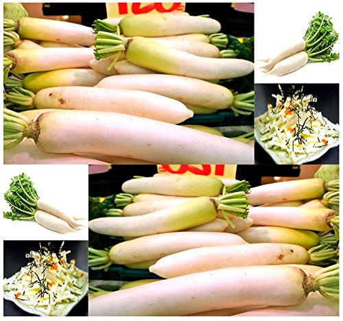 Japanese Daikon Daikon Radish Seeds - Japanese Radish FRESH SEEDS - Fast Growth ONLY 40 - 50 Days to Harvest - MAKES EXCELLENT RADISH SALAD - By MySeeds.Co (00050 Seeds - 50 Seeds - Pkt Size) - Radish Salad