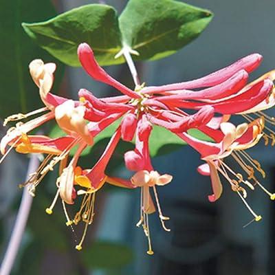 Trumpet Honeysuckle Vine Lonicera Sempervirens Live Plant : Garden & Outdoor