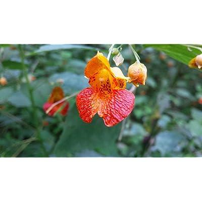 30 Orange Impatiens capensis Seeds : Garden & Outdoor
