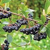'Viking' Black Chokeberry Plant - Aronia - Shrub/Bonsai/Wine - 4