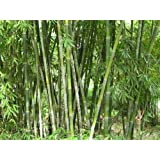 Schizostachyum funghomii McClure - bambú gigante - 10 semillas