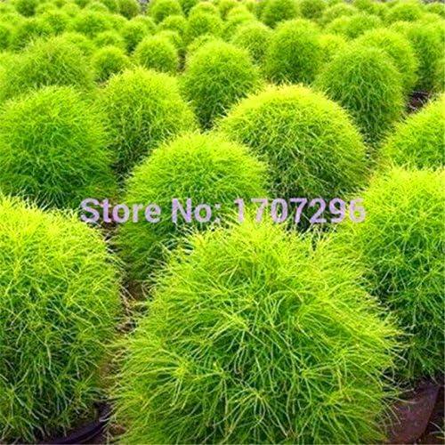 100 semillas verano Kochia Cypress hierba de tierra de jardín de flores perennes abarca rápido crece la planta de la zarza ardiente: Amazon.es: Jardín