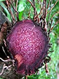 Rhizomes Dioscorea Alata (1 LB) UBE Purple yam NOT Sweet Potato Edible Purple Yam, , Rhizome Tuber of Yam,
