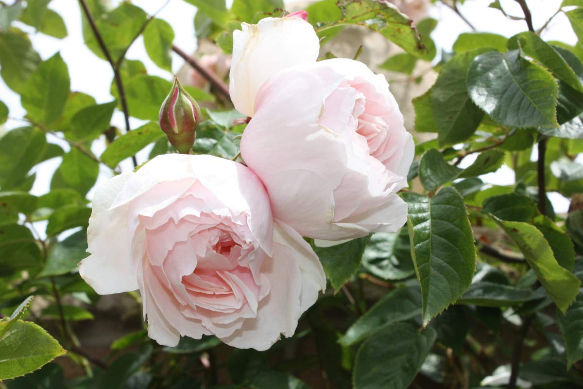 in a Large Container Strongly Developed Plant in a 6 L Pot Climbing Rose The Generous Gardener/®