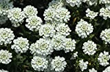 Iberis Sempervirens - SNOWFLAKE -Evergreen Candytuft -Drought Tolerant- 50 Seeds
