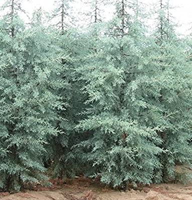 Blue Ice Arizona Cypress Tree - Live Plant - Quart Pot