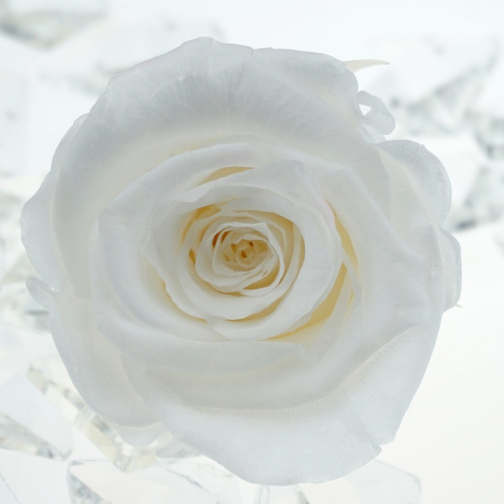 652169309726 Amazon.com  INVISIKAYAK preserved fresh Roses Flower Head,2-2.4 inches  each,6pc (white)  Home   Kitchen