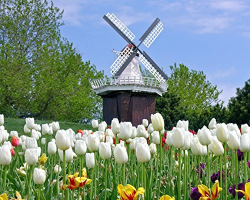 Windmill & Tulips 8 x 10/8x10 GLOSSY Photo Picture