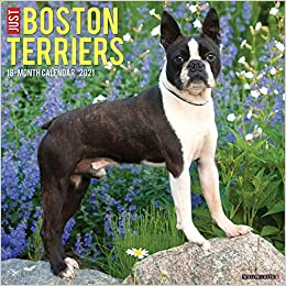 Just Boston Terriers 2021 Wall Calendar (Dog Breed Calendar