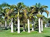 Hyophorbe verschaffeltii   Spindle Palm   10_Seeds