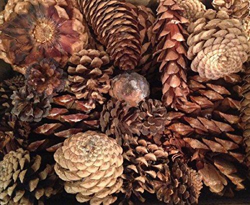(ALLO Botanicals Pine Cone Mix : Sugar Pine - Jeffrey - Ponderosa,- Lodgepole - Douglas Fir (Extra Large: 6)