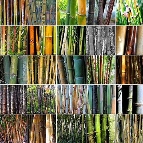 Backyard 100 Pcs Bamboo Seed 'Asian Wonder',Hardy Perennial Tree Seeds Easy to Grow Bamboo Plant Ideal for Exotic Garden