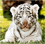 Stick It On Your Wall Baby Animals - Baby White Tiger Mini Poster - 40x40cm