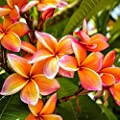 "Orange Plumeria Rooted PLANT - not cutting! Fragrant Oranges Stout 12""-14"" well-rooted plant- Ships from USA from Easy to Grow Bulbs"
