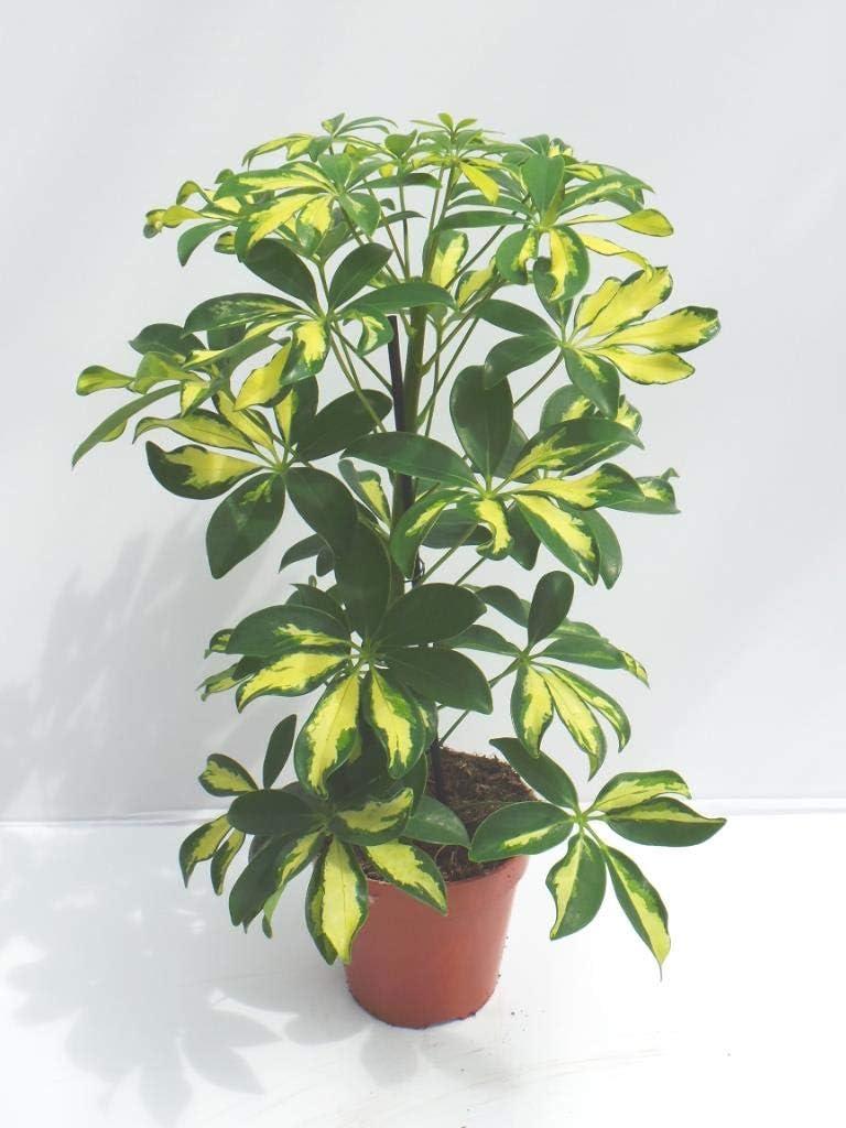 Schefflera Gerda Bicolour houseplant in a 13cm Pot Umbrella Plant