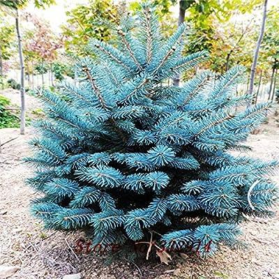 Hot Sale!50pcs/lot Evergreen Colorado Blue Spruce Picea Pungens Glauca Tree Seeds + secret gifts Bonsai plant flower seeds : Garden & Outdoor