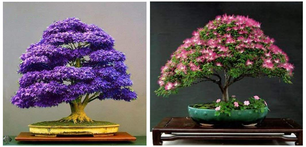 Creative Farmer Albizia Julibrissin Silk Plant Bonsai Suitable Seeds 10 Pcs Purple Maple Bonsai Suitable Tree Seeds Japanese Maple Plant Seeds Combo Amazon In Garden Outdoors