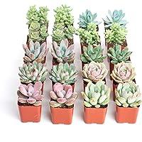 Pack de 20 Crasas y Suculentas Mix 5cm Plantas Naturales