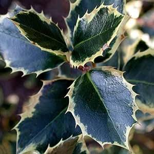 Plant World Seeds - Ilex Aquifolium Variegatum Seeds