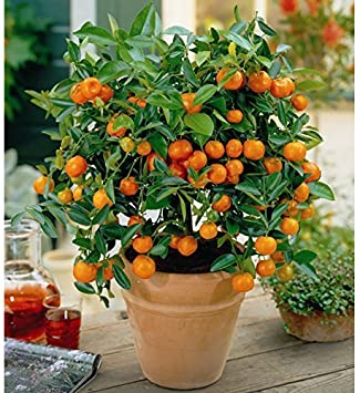 Amazon.com: 25 semillas enano de Valencia naranja fruta ...
