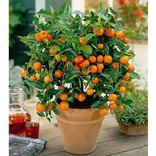 (Dwarf Valencia Orange Citrus Tree 35 Seeds indoor/outdoor)