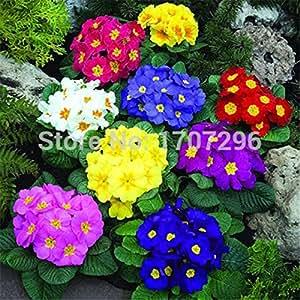 flores estacionales semillas de flores en maceta Primula 50 pedazos / porción