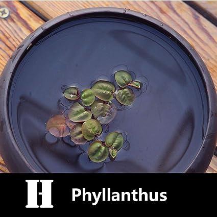 Aquatic Plant Seeds Water Hyacinth Pistia Hottonia Ludwigia Pond Decor