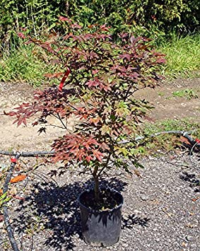 Acer Palmatum Shojo Nomurajapanese Maple 10l Pot 100 125cm