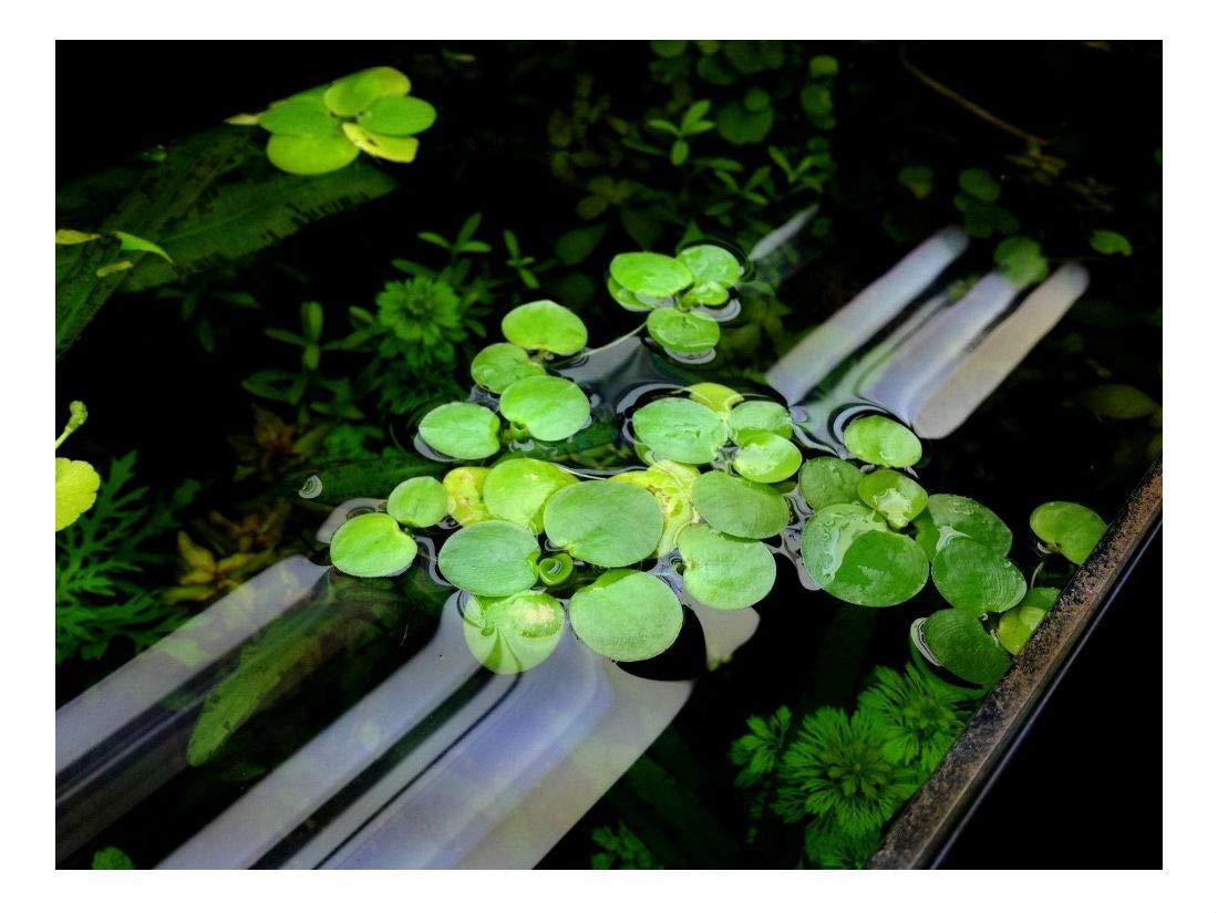 10 Frogbit, Live Aquarium/Aquatic/Pond/Floating Plant by Unknown (Image #3)