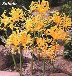 Venta grande! 100 semillas Pcs Red Lycoris Semillas Planta de tiesto Lycoris radiata Establecimiento de la flor perenne cubierta Bonsai flores de la planta de semillas 1