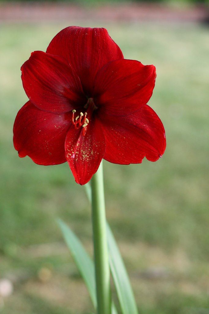 3 Red Lion Amaryllis Bulbs......Special Holiday Bulk Pricing! Wonderful to Gift As-is to Your Gardening Friends, or Jazz These Bulbs up Yourself with Clever Packaging to Put Your Own Style Into Your Gift!