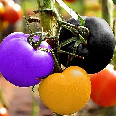 Acazon 100 pcs/Bag Multicolor Tomato Seeds Home Garden Yard Vegetables Plant Vegetables : Garden & Outdoor