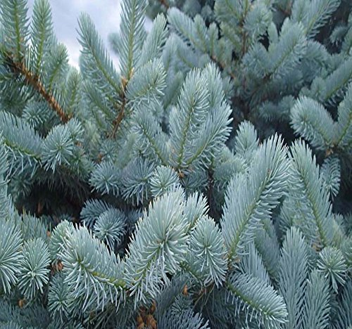 BIG PACK - (1,000) Colorado Blue Spruce Tree Seed - Picea pungens glauca - Tree Seeds - By MySeeds.Co (Big Pack - Blue ()