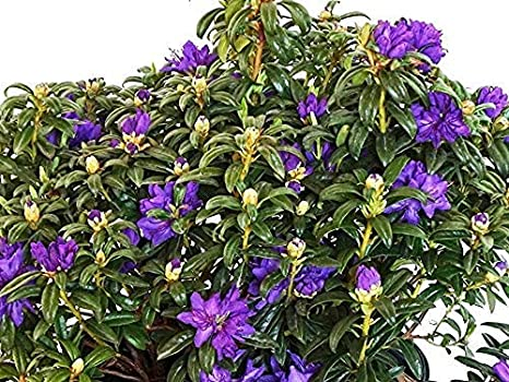 Rhododendron In Pot.Blue Baron Rhododendron Live Plant Quart Pot