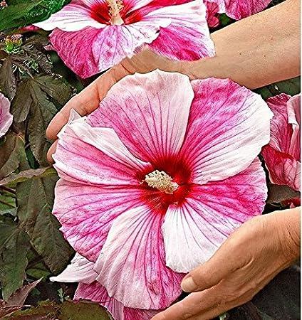 Amazoncom Giant Hibiscus Ep741 New 100 Giant Hibiscus Flower