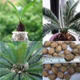 2pcs Beautiful Cycad Seeds Eenthu Plant, Queen sago Palm, Cycas circinalis- Rare and Exotic Plant Suitable for Garden or Pots Cycas Bonsai Budding Rate 97% Rare Potted Plant for Home Garden