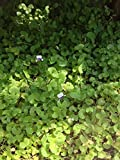 Violet Smaller Leaves, Plants Fragrant Perennial Fairy Garden Low Maintenance, lilac flowers, Australian violet - Viola Hederacea