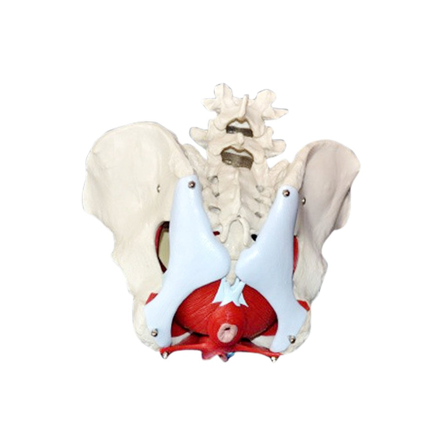 Medical Anatomical Female Pelvis Model with Removable Organs, 6-part ...