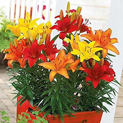 Sunset Mix Asiatic Lily (5 bulbs) Pots and Planters,Cut Flowers. Perennial