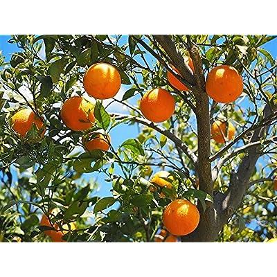New TANGERINE Mandarin Orange Citrus Fruit Tree 20+ Seeds : Garden & Outdoor