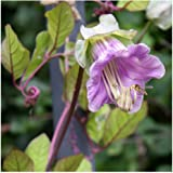 Cobaea scandens 'Purple' Seeds. Purple Cup and Saucer Vine. RHS AGM 15 Seeds