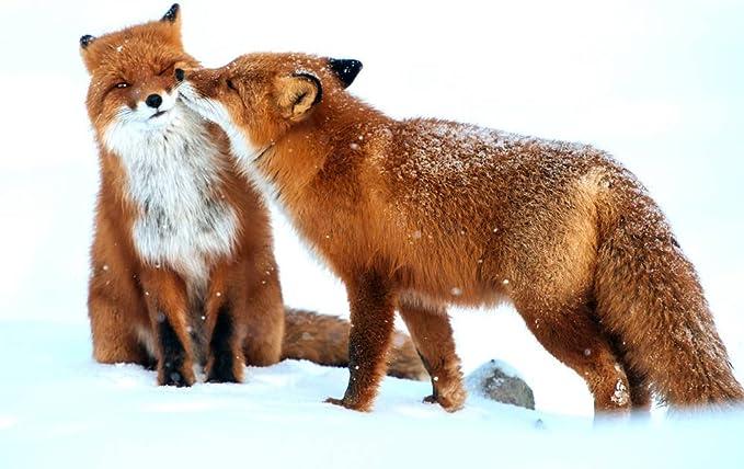 Amazon Com Art Print On Canvas Wall Decor Poster Fox Couple Snow Winter Size 13x19 5inch Posters Prints